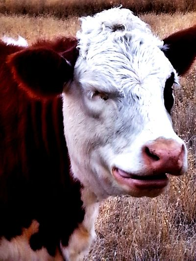 Funny Face, A White Faced Hereford Cow with a comical look on her face. Taking Photos FUNNY ANIMALS funny pics