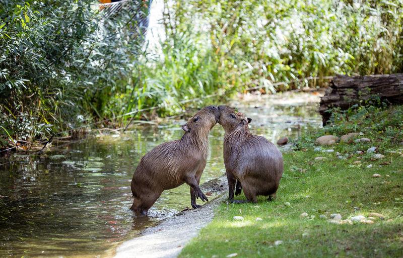Capybaras by stream