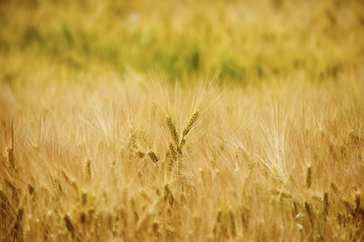 Nature Nature_collection EyeEm Nature Lover EyeEm Masterclass Agriculture Fieldscape Golden Harvest Harvesting Gerste Cereal Plant Rural Scene Summer Agriculture Backgrounds Gold Colored Field Cultivated Land Agricultural Field Barley