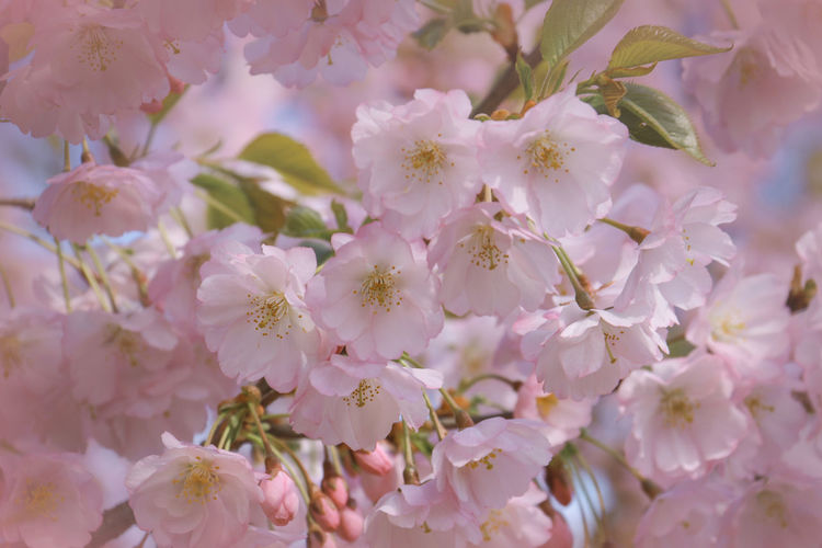 Flower Flowering Plant Beauty In Nature Plant Freshness Growth Fragility Close-up Vulnerability  Pink Color Petal No People Full Frame Nature Springtime Backgrounds Blossom Day Tree Selective Focus Outdoors Flower Head Pollen Cherry Blossom Cherry Tree Sakura Sakura Blossom