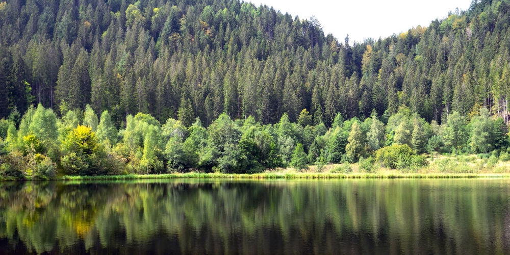 Panoramic view of pine trees by lake in forest