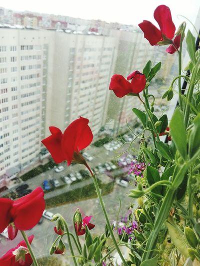 Горошек цветение цветение горошка балконное чудо заокном за окном Тюмень Зелинского огород огороднабалконе алый