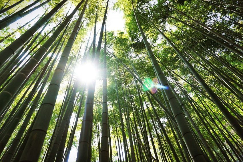 Springtime Growth Growth Nature Bamboo Grove Bamboo - Plant No People Day Green Color Forest Sunbeam Outdoors Beauty In Nature EyeEm Like Photo Low Angle View Nature Followme Good Morning Bestoftheday Forest Photography Forestwalk Good Likeforlike