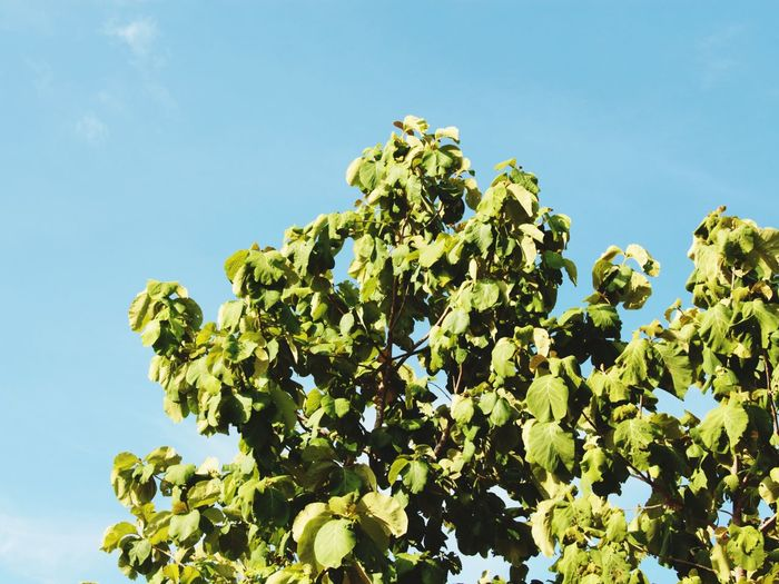 Blue Sky Tree Leaves Green Leaves Blue And Green Nature Close-up Beauty In Nature in North Thailand South East Asia