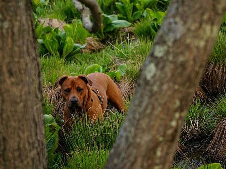 Hide n' seek . . . . Besomedoggy Nature Thewoods Dog Pup Dogsofinstagram Hiking Hikingwithdogs A6000 Sonyalpha Sonya6000 Rhodesianridgeback Instagramers Dogstagram Mkexplore Doglover Adventures Followyouradventure Followme Rockcreekpark Lakeneedwood Inspire Sunset The Great Outdoors With Adobe
