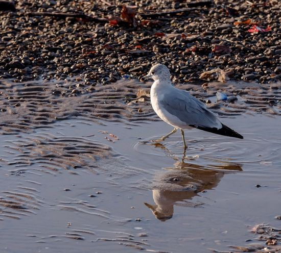 Look for food Seagull Plastic Plastic Environment - LIMEX IMAGINE Pollination Animal Wildlife Animal Themes Animals In The Wild Bird Vertebrate Plastic Environment - LIMEX IMAGINE Beach Nature Water Day One Animal Reflection Land No People Seagull Outdoors Side View Perching Sea