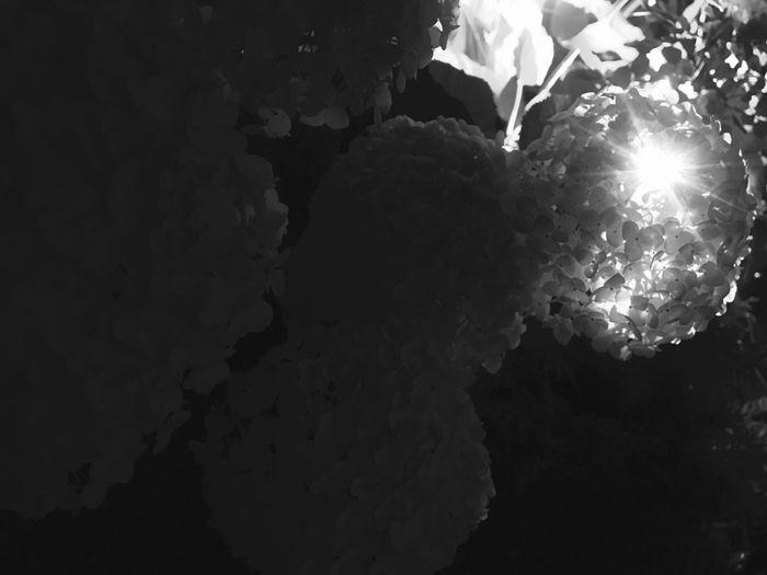 Hydrangea Midnight Night Brilliant Presence Tokyo Early Summer Evening Brilliant Future Success Great Possibility Nevergiveup Outstanding 良い成果 紫陽花 輝き 東京 真夜中 光 Focus