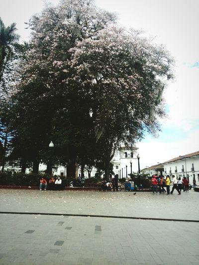 Caldas park Colombia Arboles Cuidad árbol De Guayacan Rosado