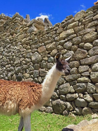 Llama Llama Machu Picchu Peru Ancient Ruins Ancient City On Top Of A Mountain Ancient Rocks Grass Travel Colour Of Life Eyeemphoto Two Is Better Than One Two Ears