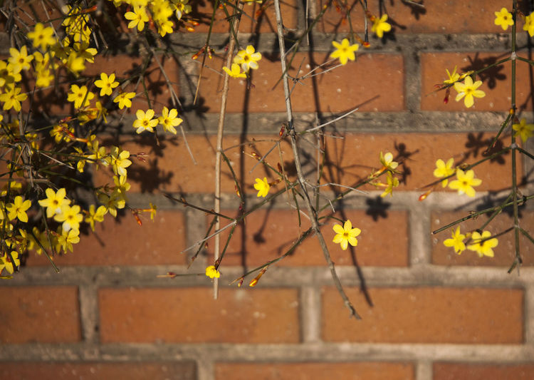 Plant Growth Flowering Plant Flower Architecture Nature No People Brick Focus On Foreground Brick Wall Day Wall Outdoors Beauty In Nature Built Structure Wall - Building Feature Freshness Fragility Yellow Vulnerability