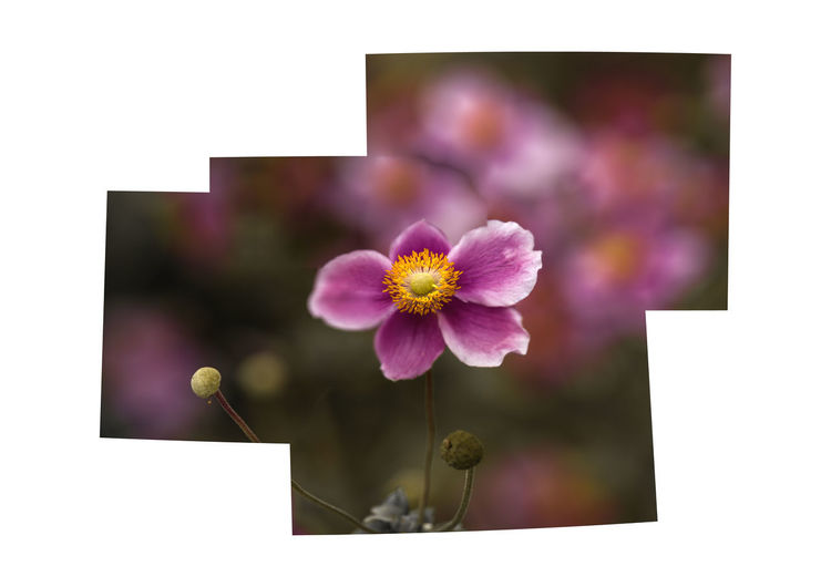 Japanese anemone Flower Flowering Plant Plant Freshness Beauty In Nature Fragility Vulnerability  Close-up No People Flower Head Inflorescence Nature Petal Focus On Foreground Growth Pink Color Auto Post Production Filter Outdoors Plant Stem Copy Space Purple