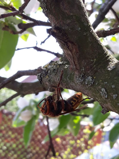 Hornet Tree Branch Hanging Close-up Animal Themes