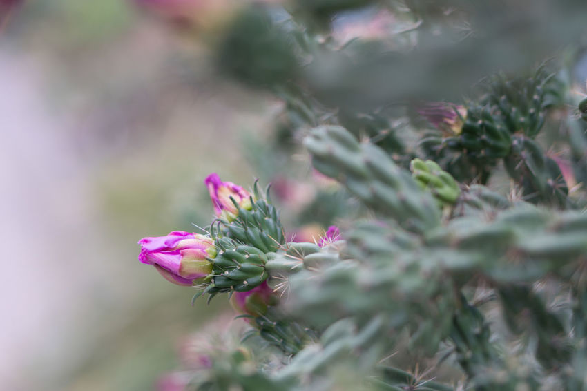 Beauty In Nature Close-up Day Flower Flower Head Flowering Plant Fragility Freshness Growth Inflorescence Leaf Nature No People Outdoors Petal Pink Color Plant Plant Part Selective Focus Vulnerability