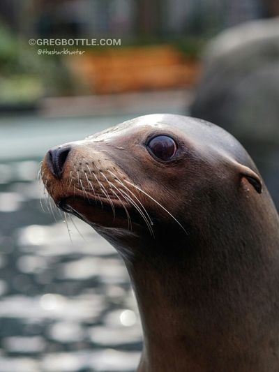 Californian Sea Lion. Wildlife New York Zoo