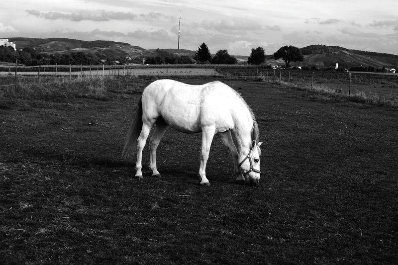 Eyeem Monochrome EyeEm Best Shots - Black + White Black And White Black&white Mono Chrome Monochrome Black & White Blackandwhite Eye Em Nature Lover Horses