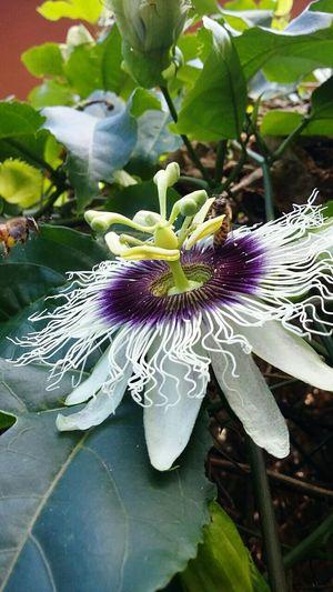 Maracujá Abelha Flower Semfiltro