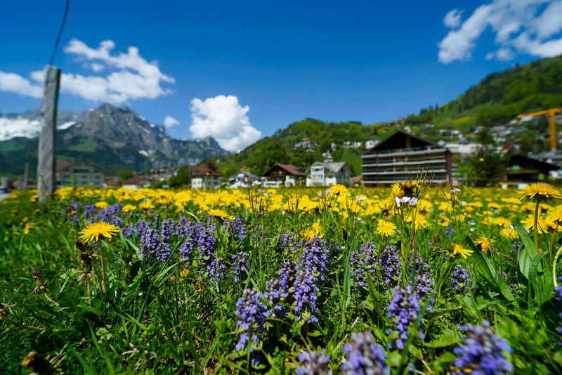 beautiful engelberg town and village Field Flowers Mount Titlis Switzerland🇨🇭 Vacations Alps Beauty In Nature Cloud - Sky Engelberg Environment Field Flower Flower Head Flowering Plant Fragility Freshness Growth Land Landscape Lavender Mountain Nature No People Outdoors Plant Rejuvenation River Rotary Rural Scene Scenics Scenics - Nature Sky Snow Sunny Day Travel Destinations Truebsee Vulnerability  Yellow