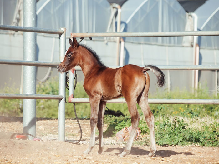 Side view of foal standing on field against built structure