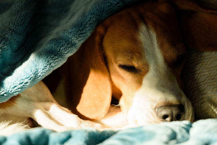 Lazy and sleepy beagle dog under a blue blanket on a bed. sunny day at home background.