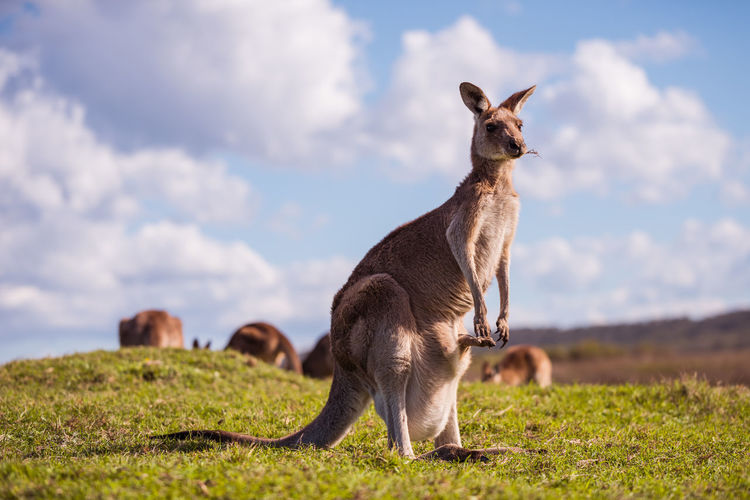 Kangaroo on a field