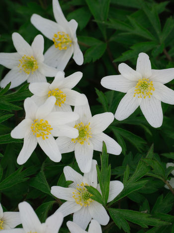 Anemone Anemone Flower Beauty In Nature Close-up Day Flower Flower Head Fragility Freshness Green Color Growth Leaf Nature No People Outdoors Petal Plant Springtime White Color
