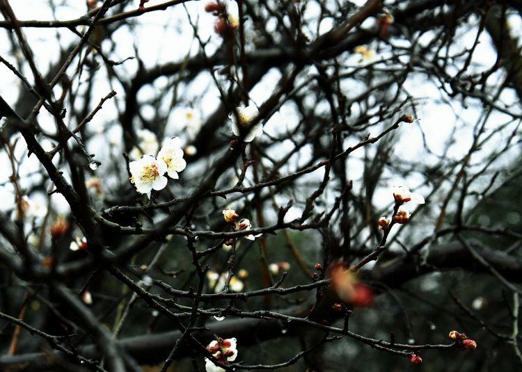 春寒料峭,依然挡不住既来的温暖。 Tree Growth Flower No People Beauty In Nature Blossom Outdoors