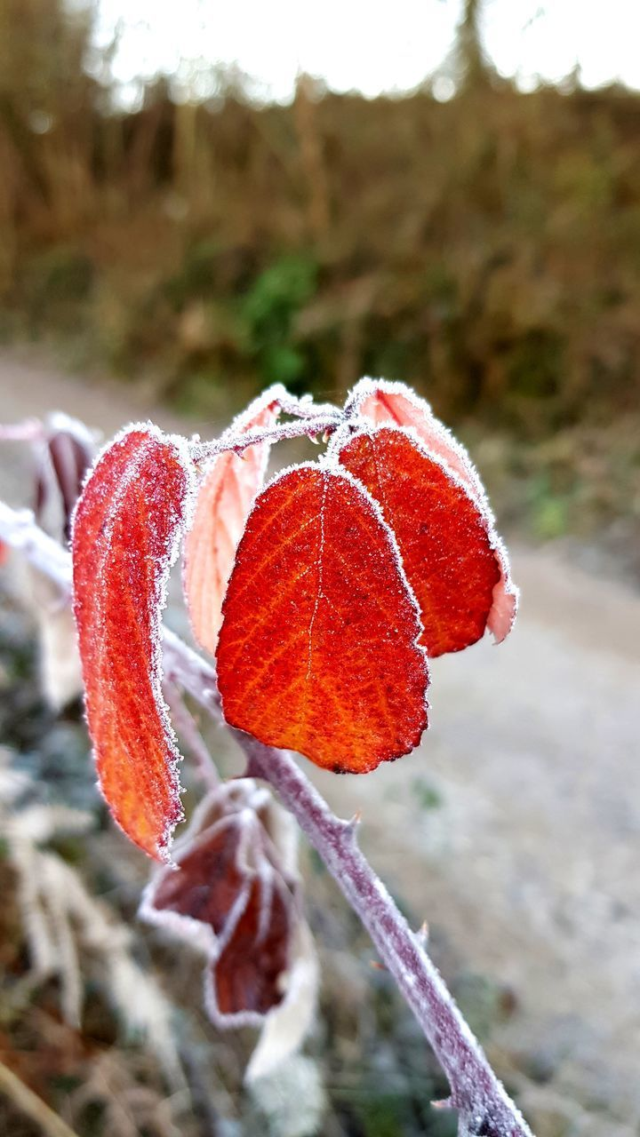 plant, close-up, winter, focus on foreground, beauty in nature, red, cold temperature, nature, frozen, day, growth, frost, ice, no people, vulnerability, snow, fragility, land, freshness, outdoors