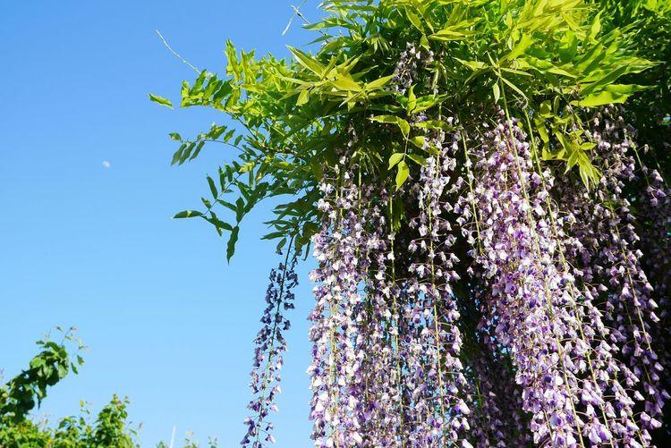亀戸天神 藤まつり Spring Flowers Wisteria Flower
