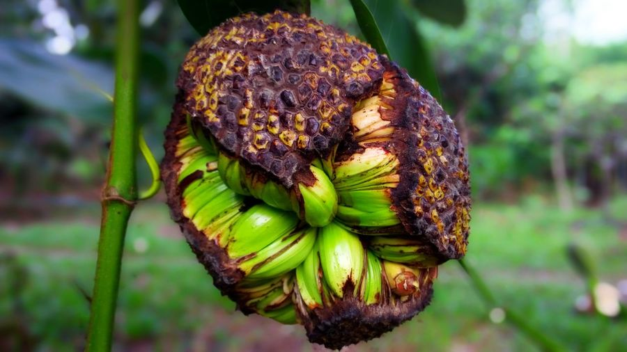 Focus On Foreground Plant Nature Growth Green Color Freshness Food Outdoors Beauty In Nature Flowering Plant Tropical Fruit Close Up Texture Pattern Abstract Objects View Fruit Jackfruit Season  Results Crack Effect Broken Rift Waste Nature EyeEm Nature Lover