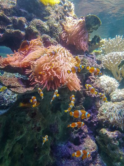 Clown fishes Clown Fishes Coral Reef Sea Life Aquarium Aquarium Life Aquarium Aquatic Life Underwater Vivid Colours  Sea Underwater Water UnderSea Coral Reef Sea Life Nature No People Beauty In Nature Multi Colored Swimming Animal Themes Close-up