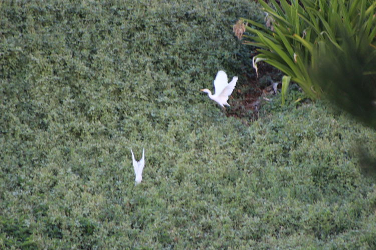 The White Cranes Of Maui. Hawaiian Birds Hawiian Flowers Maui Animal Animal Themes Animal Wildlife Animals In The Wild Beauty In Nature Bird Day Field Grass Green Color Group Of Animals Growth Hawii High Angle View Land Nature No People Outdoors Plant Small Vertebrate White Bird