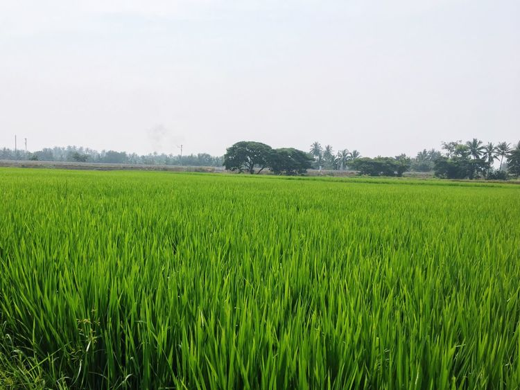 Rice fields Field Growth Agriculture Rural Scene Landscape Farm Crop  Nature Tranquil Scene Beauty In Nature Scenics Green Color Tranquility Tree Cereal Plant Clear Sky No People Outdoors Day Sky
