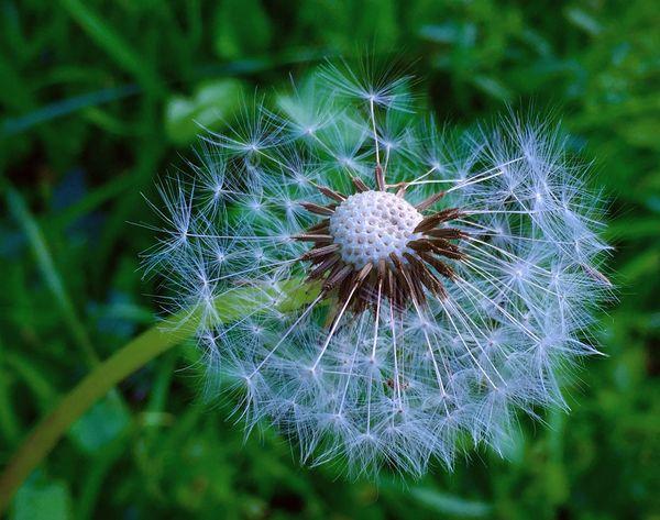 Soffione Dandelion Macro Photography ShotOniPhone6 Moment Lens Momentwide Macro Beauty Macro_collection Macro Nature Macro_flower Macroclique IPS2016Closeup Showing Imperfection