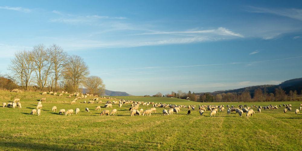 Flock of sheep grazing in field