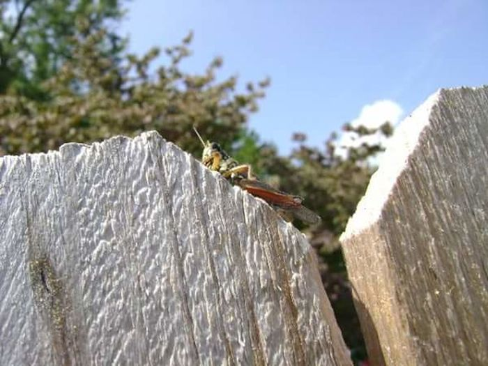 The grasshopper Grasshopper Wooden Fence Blue Sky Green Trees