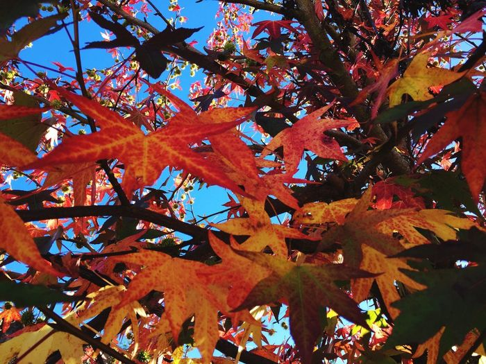 Autumn Leaf Change Tree Nature Beauty In Nature Maple Leaf Branch Maple Tree Outdoors Low Angle View Orange Color No People Day Growth Maple Fragility Scenics Tranquility Clear Sky