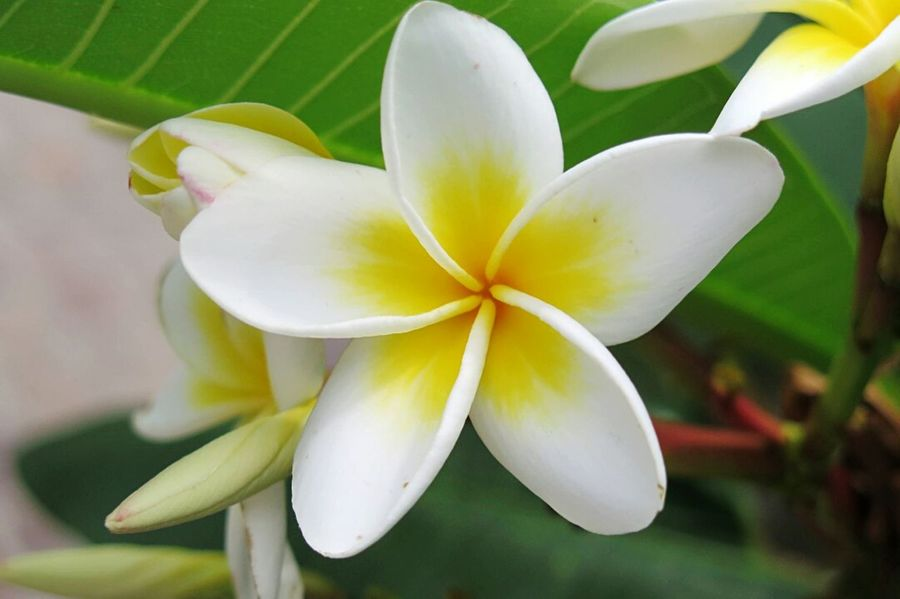 Macro Photography Plumeria Flowers Fragipani Beautiful Nature Flowers Nature Photography Botanical Garden Zuerich Plumeria Flower Collection Botanical Garden