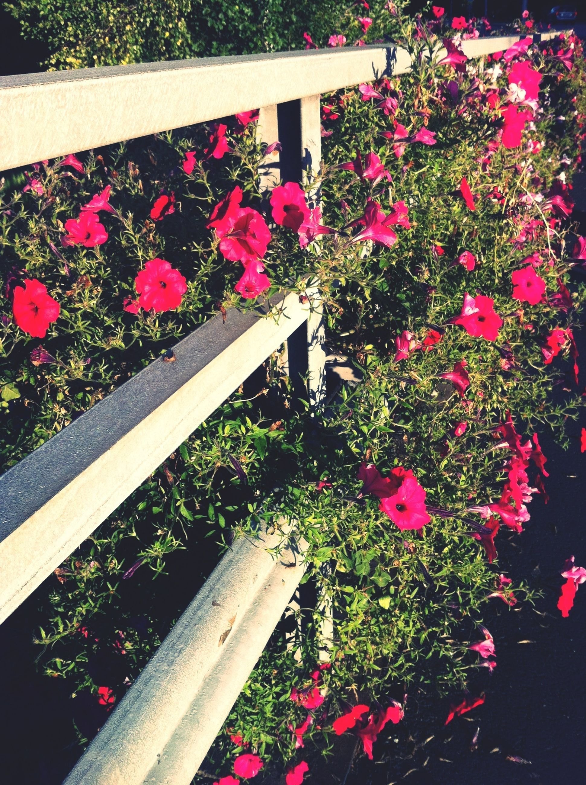 flower, freshness, growth, plant, pink color, fragility, beauty in nature, petal, nature, high angle view, blooming, in bloom, sunlight, wood - material, railing, day, park - man made space, blossom, no people, outdoors