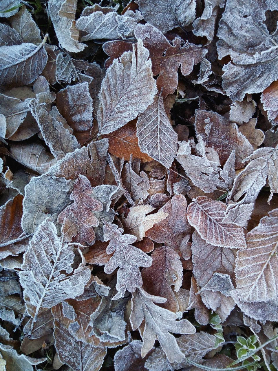 leaf, plant part, full frame, backgrounds, nature, close-up, leaves, no people, plant, dry, day, beauty in nature, fragility, frost, growth, abundance, vulnerability, land, cold temperature, high angle view, change, outdoors, ice