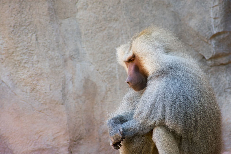 "preY~er | written by bill II ""~)) blink by bill II Primate One Animal Mammal Animal Wildlife Animals In The Wild Baboon Zoo Ape Sitting Alone Praying Frizzy Frizzy Hair"
