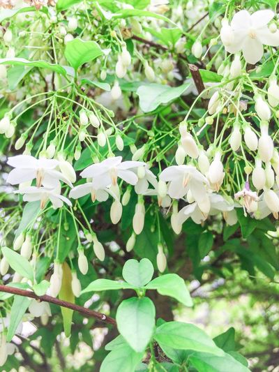 Water jasmine, Wild water plum White Flowers White Flower Wild Water Plum Water Jasmine Water Jasmine, Wild Water Plum Leaf Nature Day Growth Outdoors Plant Flower Beauty In Nature No People Fragility Close-up Freshness Flower Head