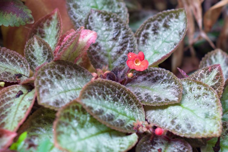 Red kalanchoe flower in nature Growth Nature Close-up Plant Leaf Outdoors Day Beauty In Nature Forest Garden Floral Kalanchoe Blossfeldiana Color