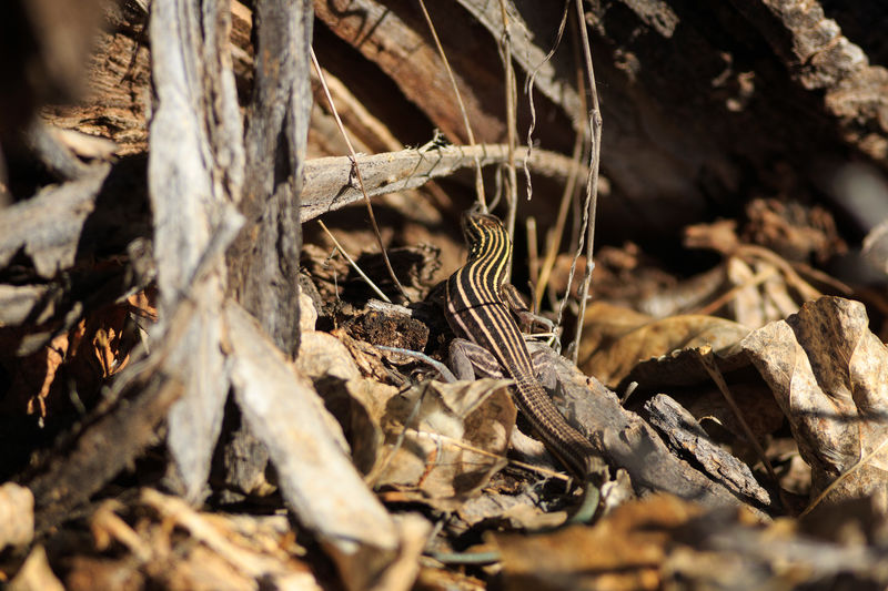 Close-up of striped lizard on field