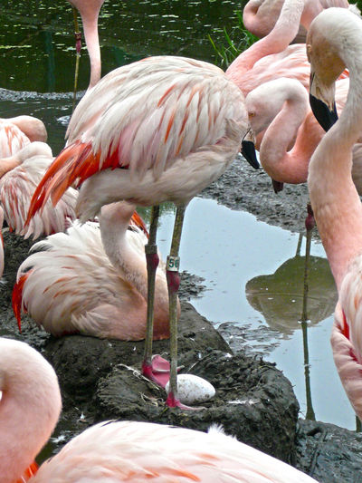 Flamencos. Taking care of each other Animal Themes Animal Wildlife Beak Beauty In Nature Bird Close-up Colony Day Egg Flamingo Incubating Lake Nature Nest No People Outdoors Water