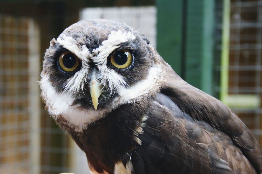 Owl Outdoors Looking At Camera Animal Wildlife Focus On Foreground Animals In The Wild Close-up No People Bird Of Prey Bird Beak Animal Themes Nature One Animal Portrait Day Animal Eye HEAD