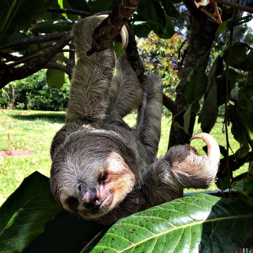 Sloth hanging from branch on field