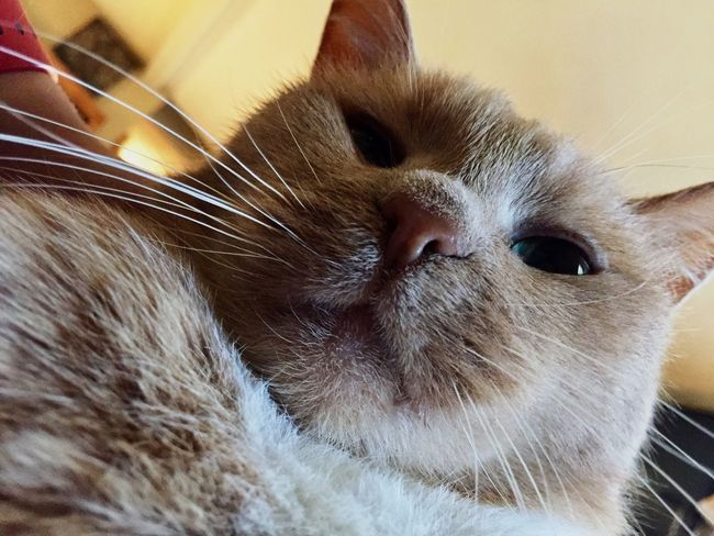 Pets Domestic Animals Domestic Cat One Animal Animal Themes Mammal Whisker Indoors  Close-up Feline No People Home Interior Portrait Day EyeEmNewHere