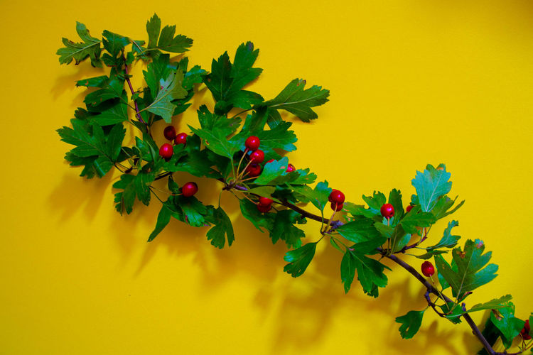 Low angle view of berries on plant against yellow wall