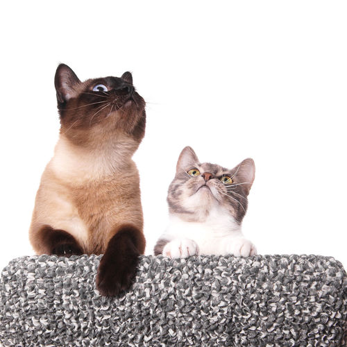 Copy Space FUNNY ANIMALS Animal Themes Cat Cats Curiosity Curious Domestic Animals Domestic Cat Feline Friendship Kitten Looking Up No People Pets Siamese Cat Two Cats White Background