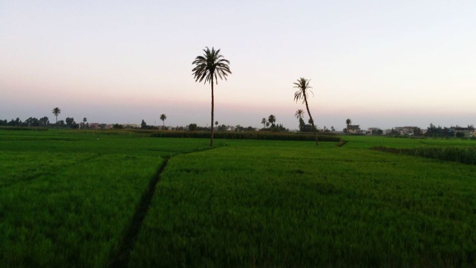 Agriculture Field Rice Paddy Landscape Farm Crop  Rural Scene Social Issues Rice - Cereal Plant Tropical Climate Sunset Travel Rice - Food Staple City Nature Beauty Tree Food Green Color Vacations